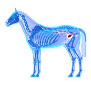 Horse Bladder Urethra - Horse Equus Anatomy - isolated on white - stock illustration