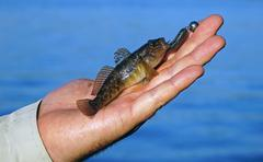 Goby in hand fisherman closeup Stock Photos