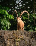 One male goat animal with big horns - stock photo