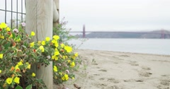 Evening Primrose and Golden Gate Stock Footage