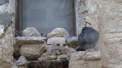 Pigeons monastery St. Gerasimos of Jordan Stock Footage