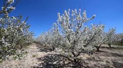 Cherry Blossom, Apulia, Italy Stock Footage
