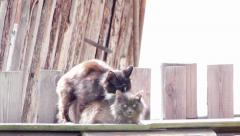 mating cats - stock footage