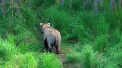 Brown Bear Sow Carrying Fish Down a Grassy Bear Trail - Going Away Stock Footage
