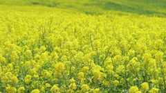 Yellow canola flower field dolly tracking Stock Footage