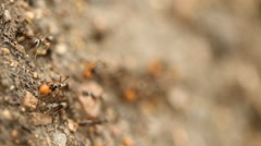 Black ants build home in dry, desert soil. Stock Footage