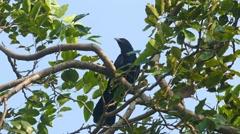 Drongo bird on tree 4k Stock Footage
