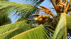 coconuts on palm closeup 4k - stock footage