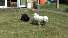 Newfoundland puppy with Bichon Frise Stock Footage