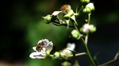 Stock Video Footage of Blackberry Rubus Caesius Branch With White Blossoms And  Bee Fly