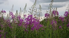 Blooming fireweed and bees Stock Footage