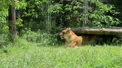 Ligers resting in wild animal park Stock Footage