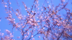 Fantasy plum twigs with pink blossom in fairy tale style for dreamlike mood - stock footage