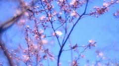 Adorable view of waving lyric sakura in amazing HD clip. Stock Footage