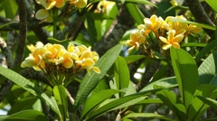 yellow branches of flowering plumeria 4k - stock footage