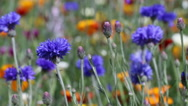 Stock Video Footage of blue flowers in the long grass