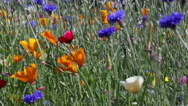 Stock Video Footage of blue and orange wild  flowers blowing in the wind