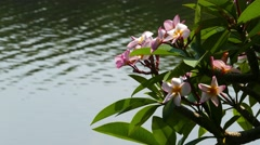 branches of flowering plumeria and lake 4k - stock footage