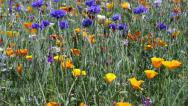 Stock Video Footage of blue and yellow flowers in the long grass