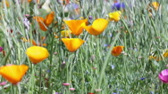 Stock Video Footage of wild orange flowers blowing in the wind