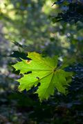 Stock Photo of Maple leaf emerald color