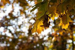Backlit yellow leaves on sunny day Stock Photos