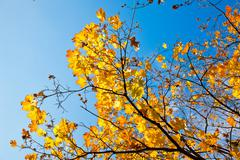 Golden maple tree branches - stock photo