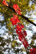Sprig with red leaves backlit by the sun Stock Photos