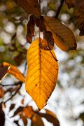 Backlit yellow and dried leaves on sunny day Stock Photos