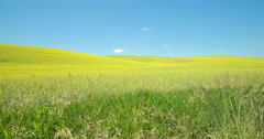Yellow canola flower field dolly tracking - stock footage