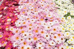 Marguerites of various colours pink. - stock photo