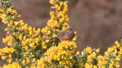 Dartford warbler (Sylvia undata) singing on gorse and flying off - stock footage
