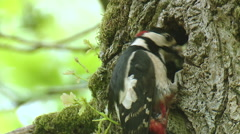 Great Spotted Woodpecker(Dendrocopos major) feeding chick to young.MXF Stock Footage