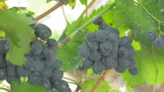 Fresh grapes cultivated outdoor 4K 2160p UHD footage - Grapevines outdoor 4K Stock Footage