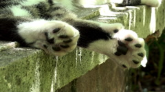 Polydactyl cat in Hemingway House (six toes on each paw). Stock Footage