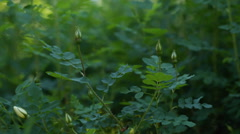 Young briar buds on bush, early summer Stock Footage