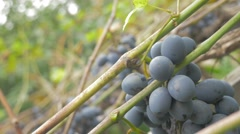 Grapevines fruit cultivated outdoor 4K 2160p UHD footage - Grapes  outdoor - stock footage