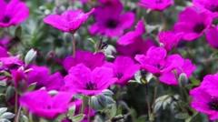 Geranium cinereum Stock Footage