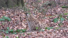4K footage of an Eurasian Lynx (Lynx Lynx) Stock Footage