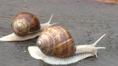 Two snail crawl and play on the wooden table Stock Footage