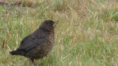 Portrait of a young Blackbird among vegetation Stock Footage