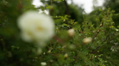 White briar rose flowers in early summer focus pull Stock Footage