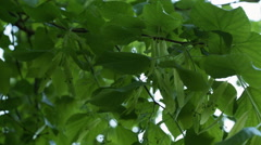 Fresh linden leaves in early summer Stock Footage