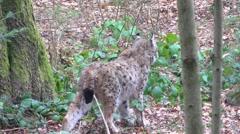 4K footage of an Eurasian Lynx (Lynx Lynx) in wild Stock Footage