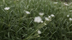 Field Chickweed closeup footage focus pull Stock Footage