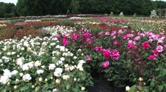Rose nursery - pan coloured rows of blooming roses in containers Stock Footage