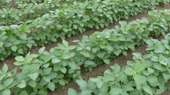 Agriculture, soybean plant in field Stock Footage