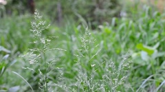 Common meadow-grass with panicles gently stirred by breeze Stock Footage