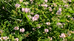 Rose colored crown vetch flowers blown by wind on a sunny day Stock Footage