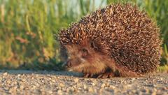 Sweet hedgehog in nature background. Evening light. Stock Footage